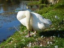 Plumes blanches de nettoyage de cygne sur le champ Photos stock