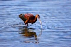 Plumes brun-rougeâtre de grand oiseau brillant coloré d'IBIS et vertes iridescentes images stock