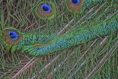 Plumes colorées de paon Images libres de droits