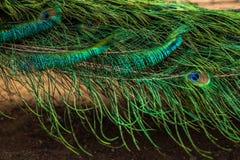 Plumes colorées de paon clavette d'or Modèle des plumes colorées de paon L'abstrait fait varier le pas du fond images libres de droits