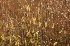 Plumes d'or d'herbe de prairie Photos libres de droits