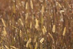Plumes d'or d'herbe de prairie Images libres de droits