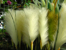 Plumes d'herbe Image stock
