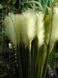 Plumes d'herbe Photographie stock libre de droits