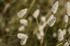 Plumes d'herbe de prairie Photos libres de droits