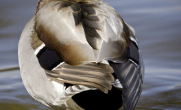 Plumes de canard de Mallard Photographie stock libre de droits