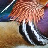 Plumes de canard de mandarine Photographie stock libre de droits