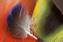 Plumes de couleur de perroquet de Rosella image libre de droits