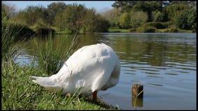 Plumes de nettoyage de canard banque de vidéos