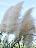 Plumes de Pampas dans le vent Photo stock