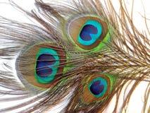 Plumes de paon ou de paonne Image libre de droits