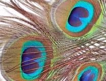Plumes de paon ou de paonne Image stock