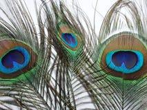 Plumes de paon ou de paonne Images libres de droits
