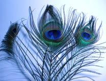 Plumes de paon ou de Peafowl Photos libres de droits