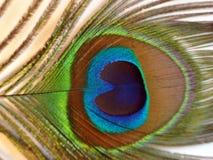 Plumes de paon ou de Peafowl Photos stock