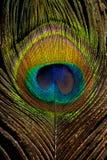 Plumes de paon sur le fond noir Photographie stock