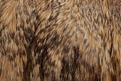 Plumes de plumage de détail d'émeu commun, novaehollandiae de Dromaius, le plus grand oiseau d'Australie Détail en gros plan d photo libre de droits