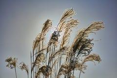Plumes de Reed soufflant dans le vent Image stock