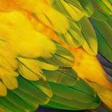 Plumes de Sun Conure Images libres de droits