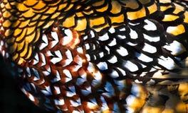 Plumes du reevesii de Syrmaticus du faisan d'un Reeves photo libre de droits