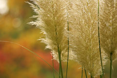 Plumes in fall Royalty Free Stock Photo