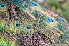 Plumes lumineuses de paon Photographie stock libre de droits