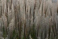 Plumes ornementales d'herbe Photo libre de droits