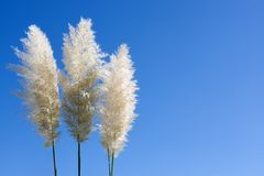 Plumes Of Pampas Grass Stock Photos