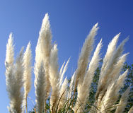 Plumes swaying in the tropic breeze. Closeup of wild grass plumes against a blue sky royalty free stock image