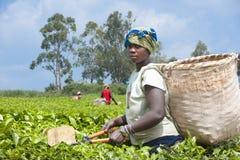 Plumeur de thé Photo stock