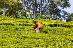 Plumeur de thé Images stock