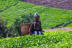 Plumeur de thé images libres de droits