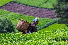Plumeur de thé image stock