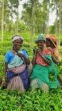 Plumeurs de thé photo libre de droits