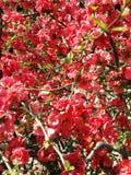 Plumflower Στοκ Φωτογραφίες