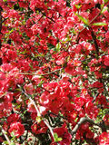 Plumflower Stock Photos