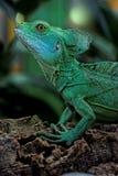 Plumifrons de Basiliscus Image libre de droits