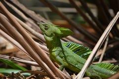 Plumifrons do Basiliscus Foto de Stock Royalty Free