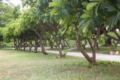 Plumiria-Baum im Garten Stockfotografie