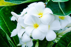 Plumiria blanc Image stock