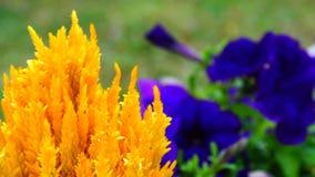 Plumosa argentea петуньи и Celosia сток-видео