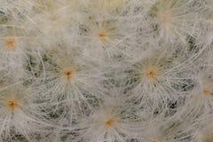Plumosa Mammillaria Στοκ Εικόνες