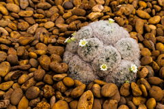Plumosa Mammillaria Στοκ Φωτογραφία