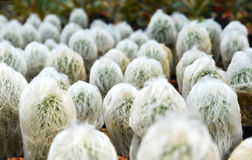 Plumosa Mammillaria Στοκ εικόνες με δικαίωμα ελεύθερης χρήσης