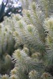 Plumosa suave plumoso de Bush de franela Phylica imagen de archivo