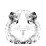 Plump cute Guinea pig Royalty Free Stock Images