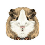 Plump cute Guinea pig. Sketch vector graphics color picture Stock Image