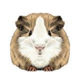 Plump cute Guinea pig. Sketch vector graphics color picture vector illustration