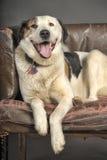 Plump dog Royalty Free Stock Image
