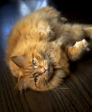Plump ginger cat on side looking at viewer Stock Photography